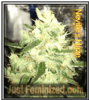 Neville's Haze Feminized Mix & Match Seeds